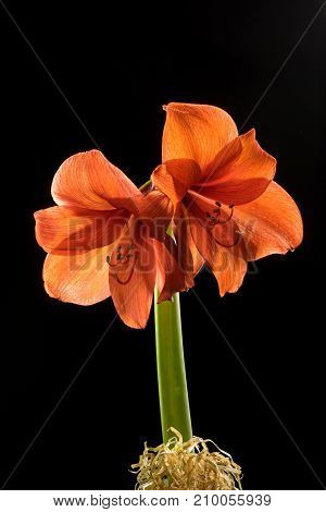Red amaryllis bloom with stripes. Natural blooming flower blossom. Hippeastrum isolated on the gray background. Celebration card
