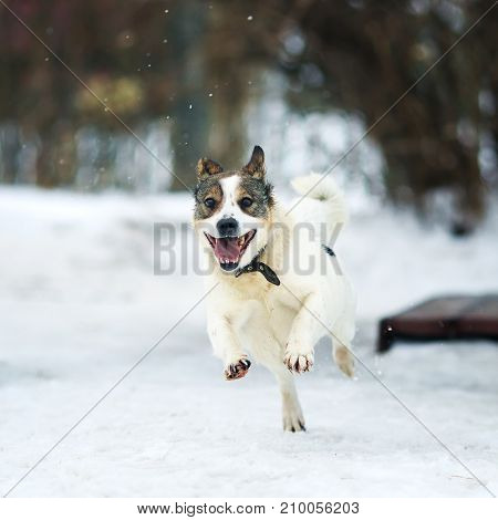 funny white dog fun running in the freezing snow in the winter
