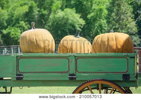 Halloween Day Concept : Yellow pumpkins on rickshaw at countryside whit green trees background.