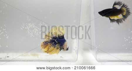 Two Betta Splendens Fishes
