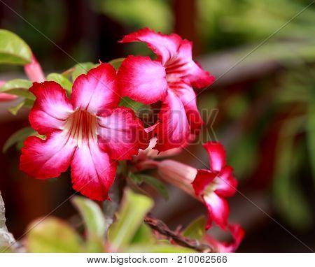 Desert Rose or Impala Lily- Mock Azalea, red flower.