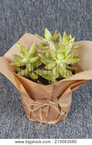 Sedum adolphii succulent plant isolated on grey background