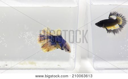 Two Betta Splendens