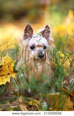 beautiful yorkshire terrier dog posing outdoors in autumn