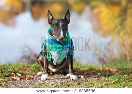 black english bull terrier dog posing outdoors in autumn