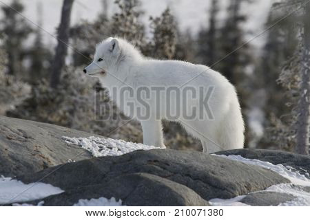 Arctic fox (Vulpes Lagopus) in white winter coat staring off while standing on a large rock with trees in the background
