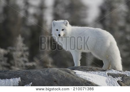 Arctic fox (Vulpes Lagopus) in white winter coat staring at the camera while standing on a large rock with trees in the background