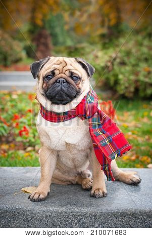 A romantic pug dog in a red checkered scarf sits on the background of the autumn city park. Image for animal lovers, printed products and backgrounds.
