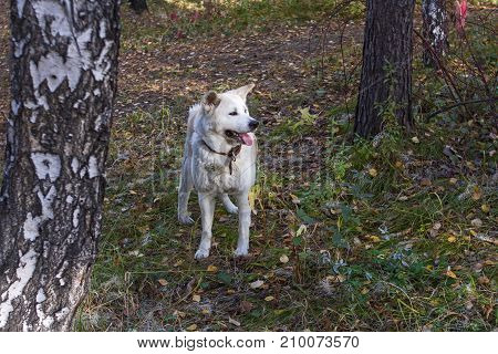 Funny cute dog Japanese akita inu with his tongue sticking out in the autumn forest among the trees and fallen bright leaves in autumn.