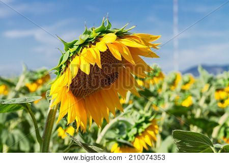 Colorful sunflowers at hot summer day on blue sky background
