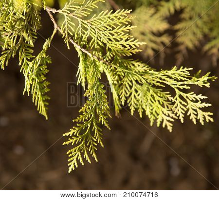 Thuja Outdoors . In the park in nature