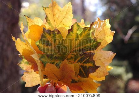 Beautiful autumn leaves glow in the sun. A bouquet of autumn leaves. Autumn background.