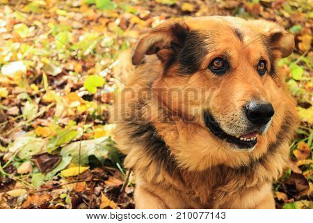 Dog closeup lies on leaves in the autumn forest