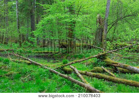 Fresh deciduous stand in summer with dead broken ash in foreground, Bialowieza Forest,Poland, Europe