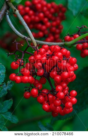 Guelder-Rose(Viburnum opulus) fruits close-up in fall Bialowieza Forest Poland Europe
