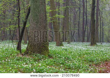 Floral bed of springtime anemone flowers in misty stand with old oak in foreground, Bialowieza Forest, Poland, Europe
