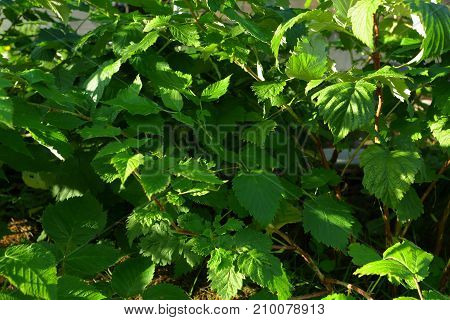 near view of raspberry leaves. raspberry background