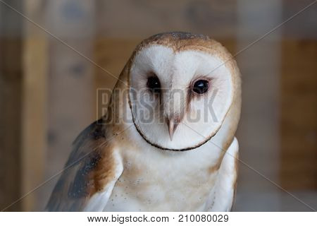 A Barn owl (Tyto alba) closeup view of his face