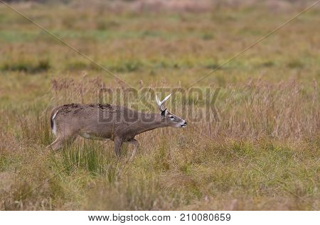 White-tailed deer buck sniffing the air in the early morning