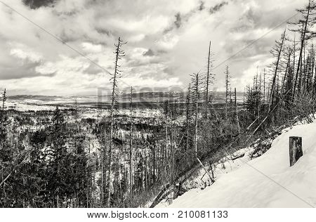 Spruce forest after natural disaster in High Tatras mountains Slovakia. Winter natural scene. Black and white photo.