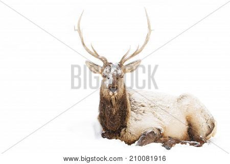 Bull Elk sitting in the winter snow