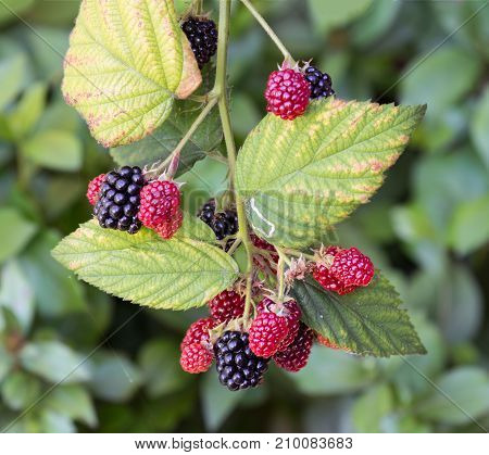 Blackberry bush with ripening red and black fruits