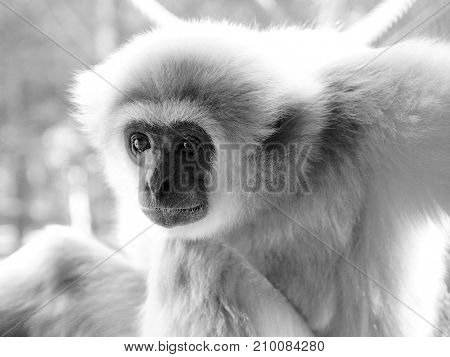 An Adult Lar Gibbon Is Sitting And Looking Attentively.