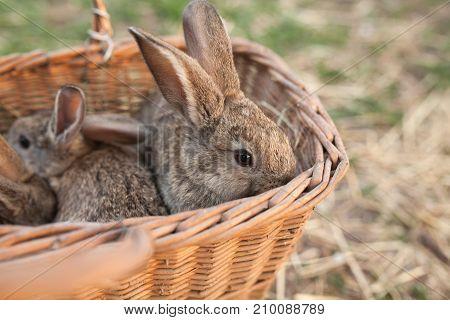 Few Rabbits In Basket