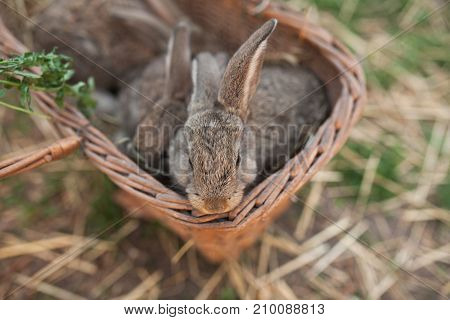 Animal Farm, Grey Rabbits In Box
