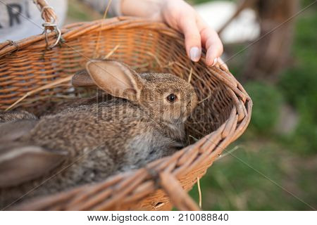 Basket with grey little  rabbits inside outdoor