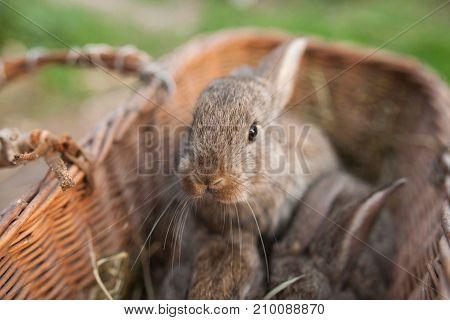 Little grey rabbit look on camera outdoor