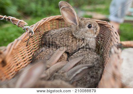Brown Bunny In Basket On Farm