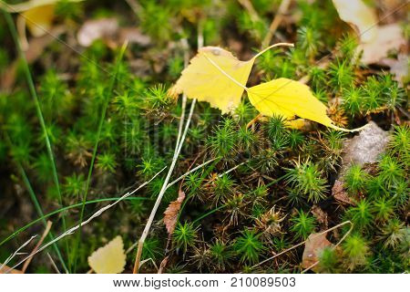 Autumn leave on moss, Moss in forest, dry leaf fallen on green moss floor in autumn season at Norway, Dry leaves on the freshness green moss and fern background. Contrast between dry and freshness