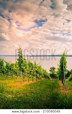 View of Lake Koblenz from the German side with vine plants in the foreground