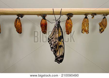 Butterfly Pupa Pupae Cocoons
