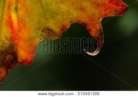 Nature Abstract: Close Look at Curled Lip of an Autumn Leaf