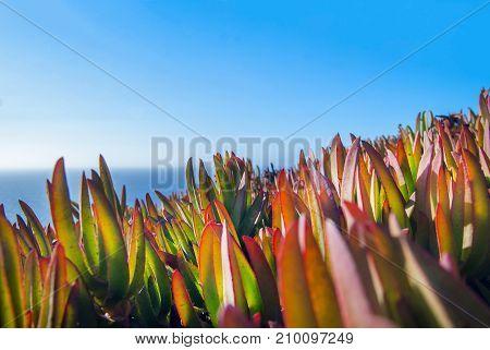 Carpobrotus edulis Hottentot Fig on the Ocean, Cabo Da Roca, Sintra, Portugal.