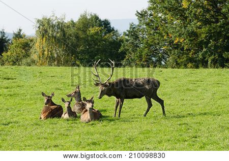 European red deer herd on a paddock in the summer sun. Mature stag (male) and four hinds (females). Group of Cervus elaphus in Western Europe. Photo.