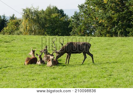 Mature stag sniffing at a doe. European red deer herd on a paddock in the summer sun. One mature stag (male) and four hinds (females). Group of Cervus elaphus in Western Europe. Photo.