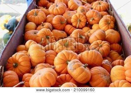 Mini orange pumpkin fall macro background texture