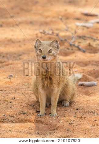 A yellow mongoose in the Kgalagadi Transfrontier Park situated in the Kalahari Desert which straddles South Africa and Botswana.