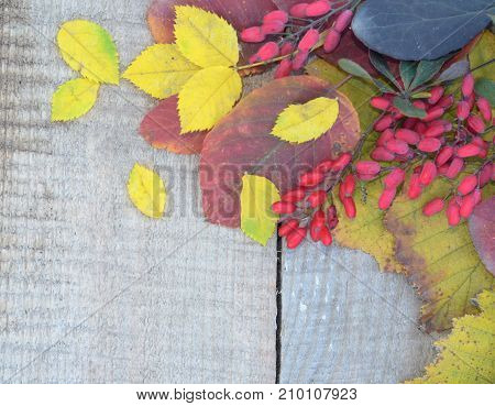 autumn leaves laid out with a frame and a branch of barberry on an old wooden board