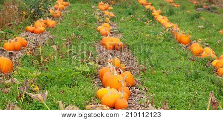 Rows of orange pumpkins with grass in between the rows on a pumpkin farm with space for text.