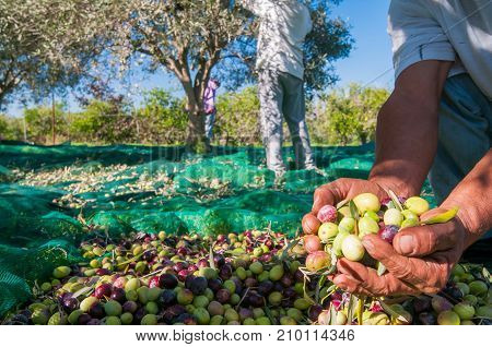 Hands of a picker holding a handful of just picked olives