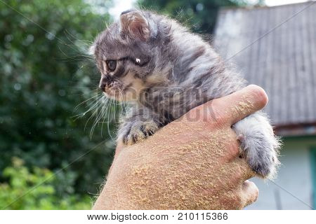 The owner holds in his hands an unhappy gray kitten. Kitten Maine Coon one month