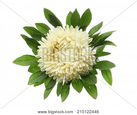 Chrysanthemum flower, isolated on white