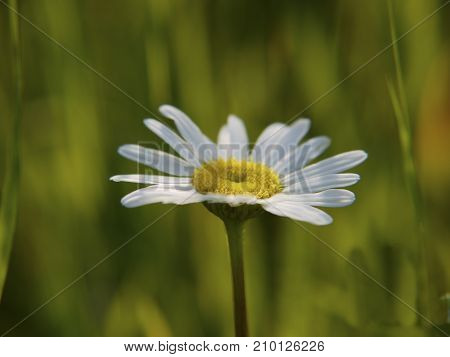 A chamomile flower or actually an ox-eye daisy close-up photo in a sunny summer day on a blurred green background.