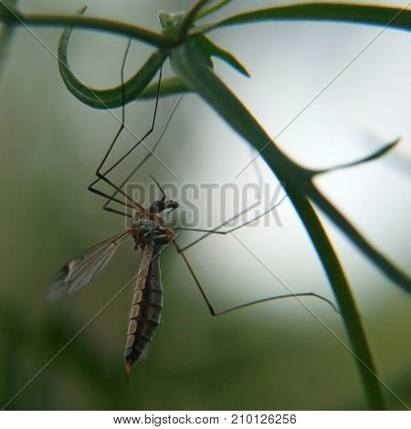 A close-up of a crane-fly also known as a mosquito hawk hanging on a weed stem on blurred background.
