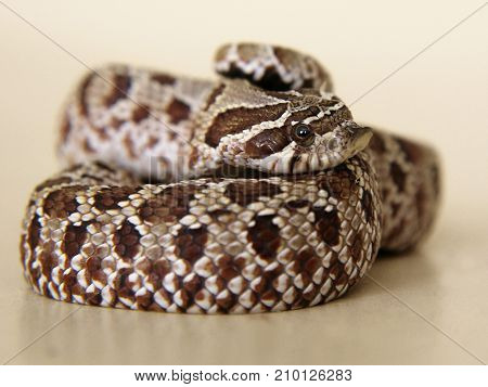 A western hognose snake shows an uncertain but bright emotion. Neutral background.