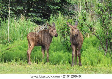 Moose Calves near Homer Alaska, USA in summer